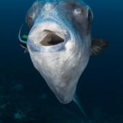 Facing a Mola Mola in Bali thumbnail