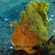 Frogfish-in-Secret-Bay-Pemuteran thumbnail