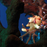 Frogfish on the Coral in Tulamben, Bali thumbnail