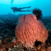 Giant Gorgonia in Nusa Penida thumbnail