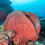 Giant Gorgonia in Pura PED, Nusa Penida thumbnail