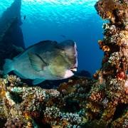 Giant Humphead Parrotfish on the USAT Liberty Wreck in Tulamben, Bali thumbnail