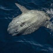 Giant Sunfish, Mola Mola at the surface in Crystal Bay, Nusa Penida thumbnail