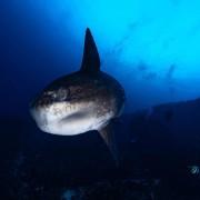 Giant Sunfish, Mola Mola in Crystal Bay, Nusa Penida thumbnail