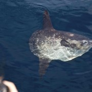 Giant Sunfish Mola Mola at the surface in Blue Corner, Nusa Lembongan thumbnail