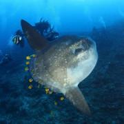 Go diving with a Mola Mola, Sun Fish in Nusa Penida thumbnail