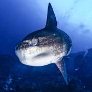 Go diving with a Mola Mola in Nusa Lembongan thumbnail