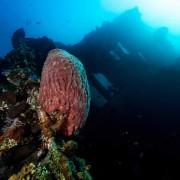 Gorgonia on the USAT Liberty Shipwreck thumbnail