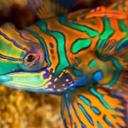 Green and Orange Mandarin Fish in Pemuteran Bay, Bali thumbnail