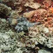 Grey Pufferfish in Cave Point thumbnail