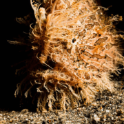 Hairy Frogfish Close Up in Amed thumbnail