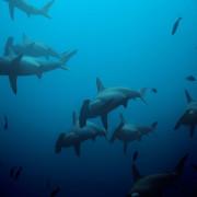 Hammerhead Shark in Karang Sari, Nusa Penida thumbnail