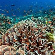 Hard coral ocean floors in Blue Corner, Nusa Lembongan thumbnail