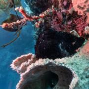 Hard Corals in Bat Cave, Menjangan Marine Park thumbnail