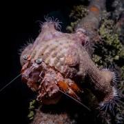 Hermit-crab thumbnail