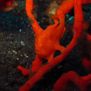 Hidden red Frogfish in the red Coral thumbnail