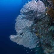 Huge white Sea Fan in Eels Garden, Menjangan thumbnail