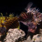 Juvenile-Lionfish-Pemuteran-Jetty thumbnail