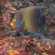 Koran-angelfish thumbnail