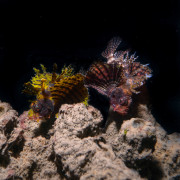 Lionfish couple in Pemuteran Bay thumbnail
