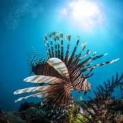 Lionfish in Golden Rock Dive Site in Amed, Bali thumbnail