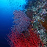 Magneficent Coral Wall in Jemeluk Bay, Amed, Bali thumbnail