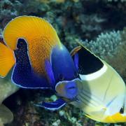 Majestic Angelfish in Buyuk dive site in Nusa Penida thumbnail