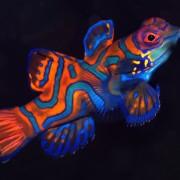 Mandarin Fish, night dive in Pemuteran Bay, Bali thumbnail