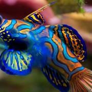 Mandarin-fish thumbnail