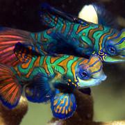 Mandarin Fish and is baby in Pemuteran, Bali thumbnail