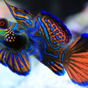 Mandarin Fish close up, Pemuteran Bay, Bali thumbnail