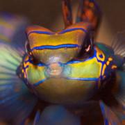 Mandarin Fish Close Up in Mandarin Point, Menjangan thumbnail