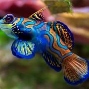 Mandarin Fish Close Up in Mandarin Point, Pemuteran Bay thumbnail