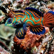 Mandarin Fish in Coral, Menjangan Marine Park, Bali thumbnail