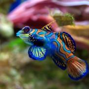 Mandarin Fish in Mandarin Point, Bali thumbnail