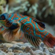 Mandarin Fish in Menjangan Marine Park, Bali thumbnail