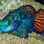 Mandarin Fish on the white sand floor of Mandarin Point, Pemuteran, Bali thumbnail