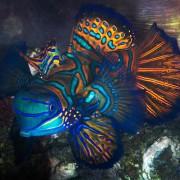Mandarinfish-Menjangan-Dive-Concepts-Bali thumbnail