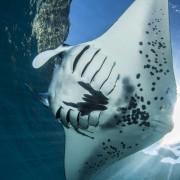 Manta Ray in Manta Point, Nusa Lembongan thumbnail