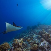 Manta Ray in POS 2, Menjangan Marine Park thumbnail