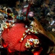 Mantis-Shrimp-carrying-eggs thumbnail