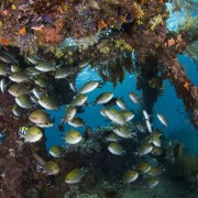 Marine life on the Japanese Shipwreck in Amed, Bali thumbnail