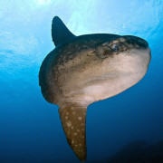 Mola Mola - Sun Fish in Nusa Lembonganjpg thumbnail