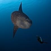 Mola Mola in Nusa Lembongan thumbnail