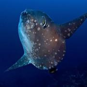 Mola Mola in Nusa Penida thumbnail