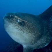 Mola Mola portrait in Nusa Penida thumbnail