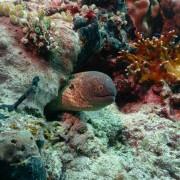 Moray Eel in the Eels Garden of Menjangan Marine Park thumbnail