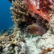 Morray Eel in Bat Cave, Menjangan Marine Park thumbnail