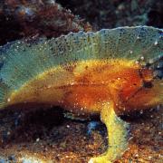 Multicolor Leaf Scorpionfish in Menjangan, Bali thumbnail