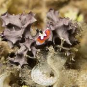 Nudibranch in coral, Pemuteran Bay thumbnail